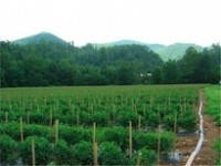 Field of staked tomato plants