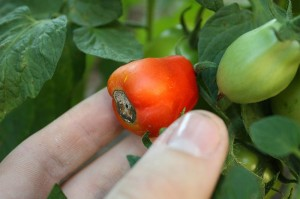 Picture of tomato with blossom end rot