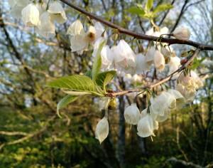 Silverbell tree