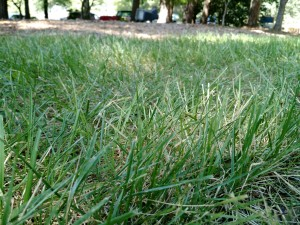 Picture of tall fescue