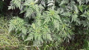 Picture of Ragweed.