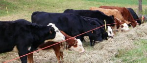 Picture of cattle feeding.