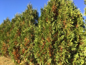drought stricken evergreens
