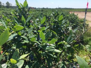 Cover photo for Blueberry Insect Monitoring Report, 26 May 2017
