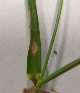 oval lesion on leaf