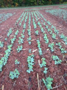 Cover photo for Winter Pea for Grain Production in North Carolina: Research Summary