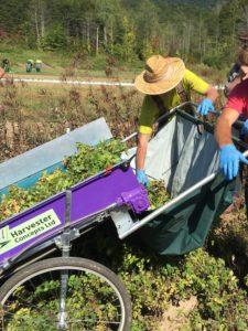 Lemon Balm Harvest