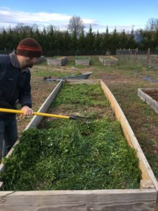Gardener Andrew Windham clears a cover crop off of a raised bed in preparation for spring planting.
