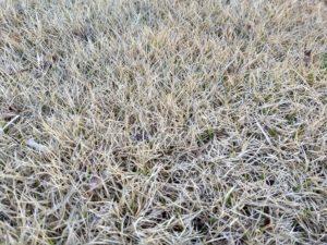 dormant zoysiagrass
