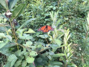 butterfly om ,ilkweed