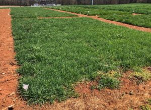 Orchardgrass trial plots at the Piedmont Research Station in Salisbury, NC. (Credit Stephanie Sosinski)