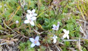 bluet flower