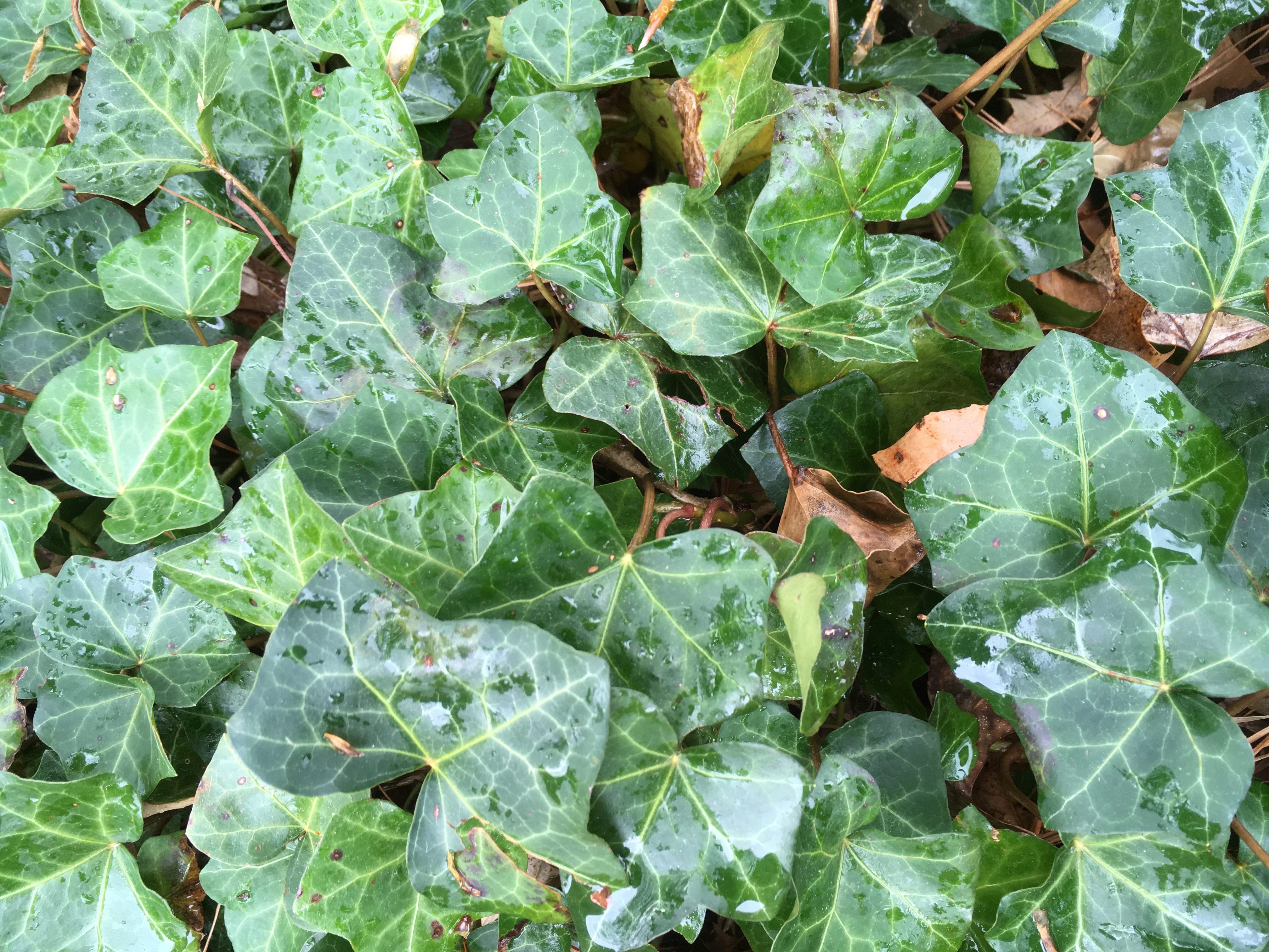 English Ivy- Friend or Foe? | North Carolina Cooperative ... on common names of indoor plants, common household plants, kinds of ivy, common indoor houseplants, english ivy, common ground cover ivy, plectranthus swedish ivy, common houseplants care of,
