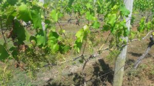 Cover photo for Grape Pest Survey 5th Week of May