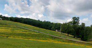 field full of buttercup