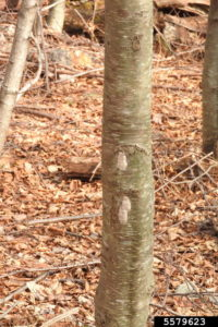 potted Lanternfly eggs resemble masses of mud on tree trunks and can be observed during the winter.