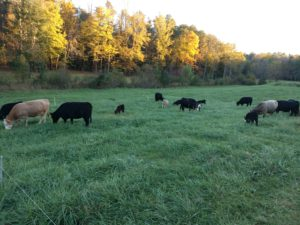 Cattle grazing stockpiled fescue. Farmers that have soils with higher organic matter can likely reduce nitrogen applications and still produce high yields in the fall.