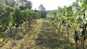 Vinifera grapes