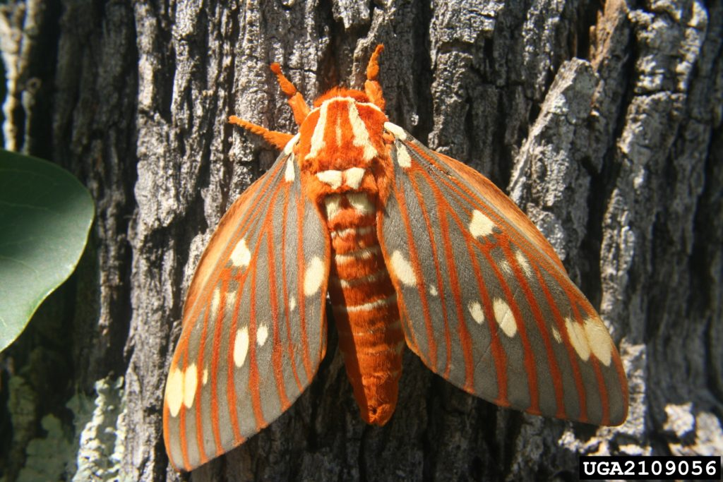 The regal moth, adult form of the hickory horned devil, pictured on a hickory tree. Credit, Tom Coleman, USDA Forest Service, Bugwood.org