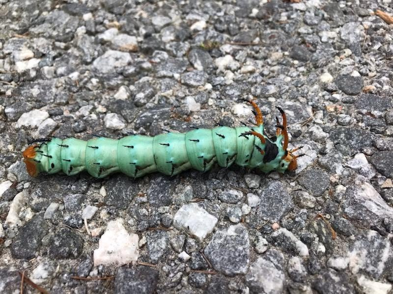 Hickory horned devil found and photographed by Travis Livingston. This is the largest caterpillar found in North Carolina.