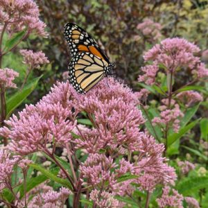 Monarch on joe-pye weed in mid-July.