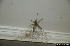 Fishing spiders are large enough to bite. The experience is described as similar to a bee or wasp sting. (credit Jacob Vance, Emory University, Bugwood.org)