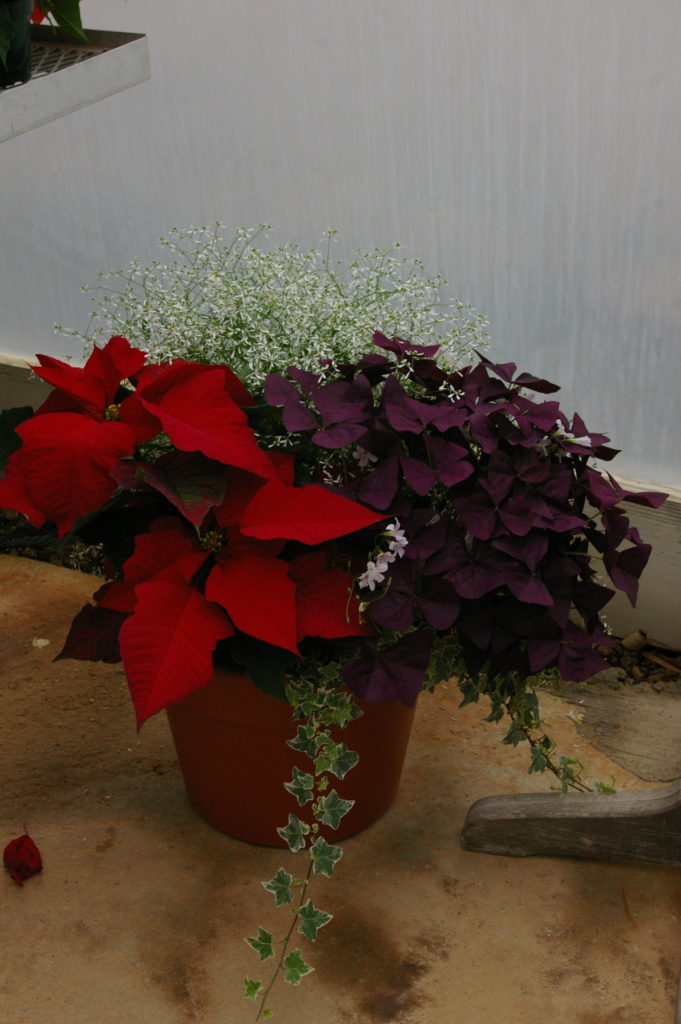 Mixing with poinsettias with interesting baskets creates a nice display (Credit NC State University)