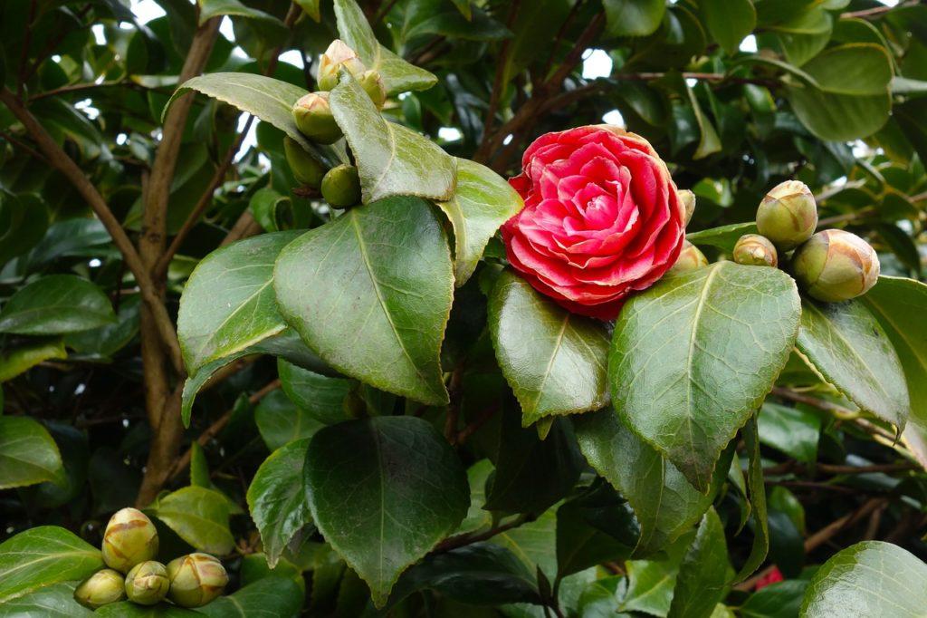 Common camellia