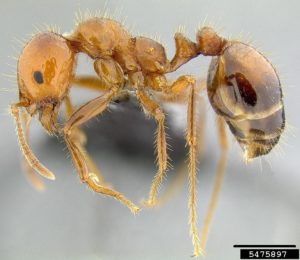 red imported fire ant major worker