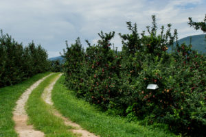 Insect trap in apple orchard