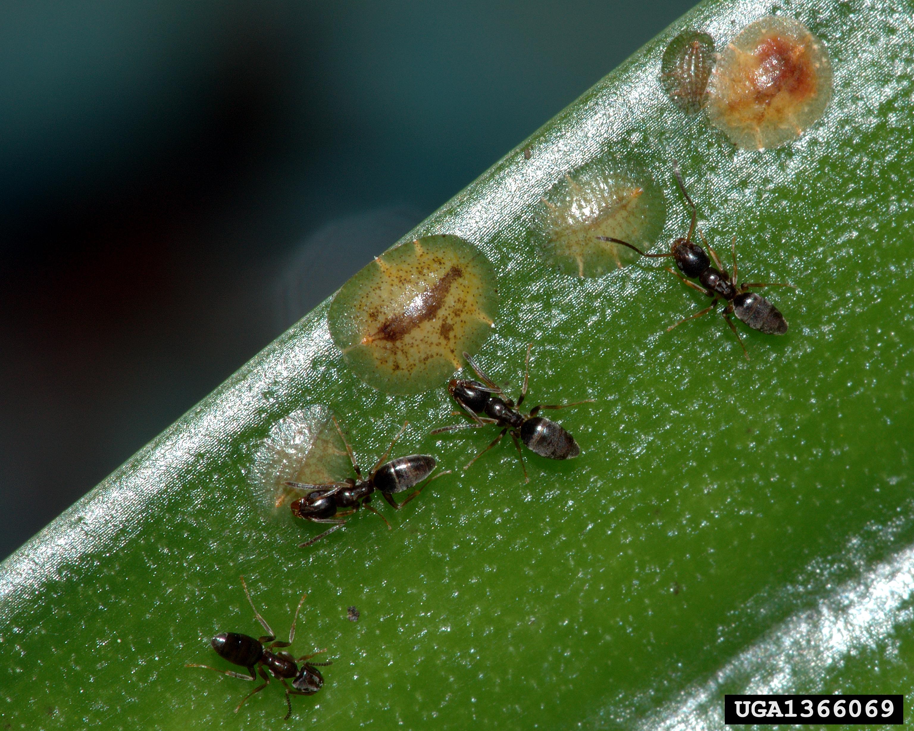 piss ants