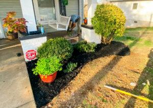 mulch around shrubs