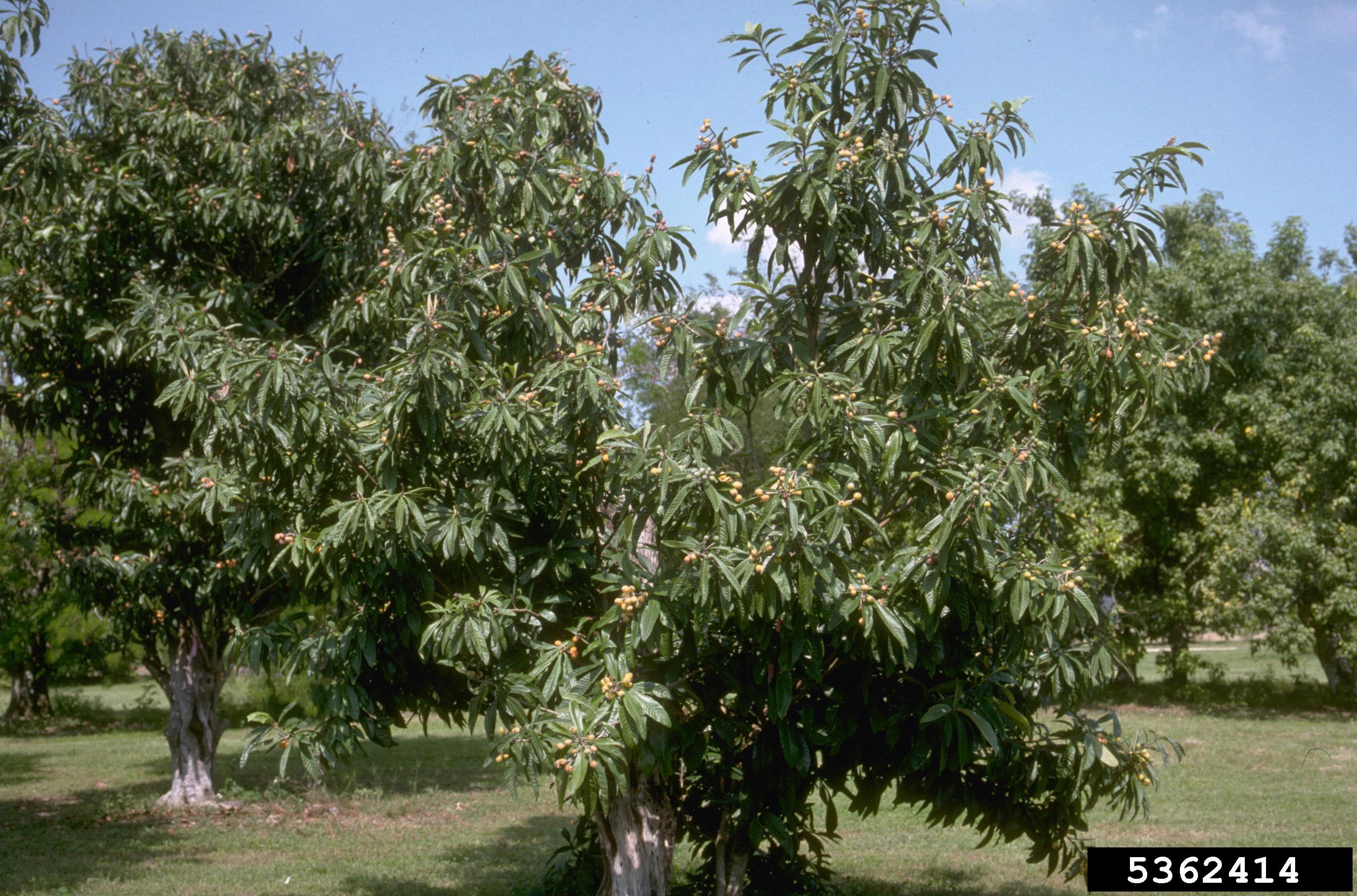 The loquat is a tropical evergreen shrub or tree. The plant usually does not fruit in NC due to its cold sensitivity. The tree itself can survive in temps down to about 10 degrees F. (Credit: Howard F. Schwartz, Colorado State University, Bugwood.org)