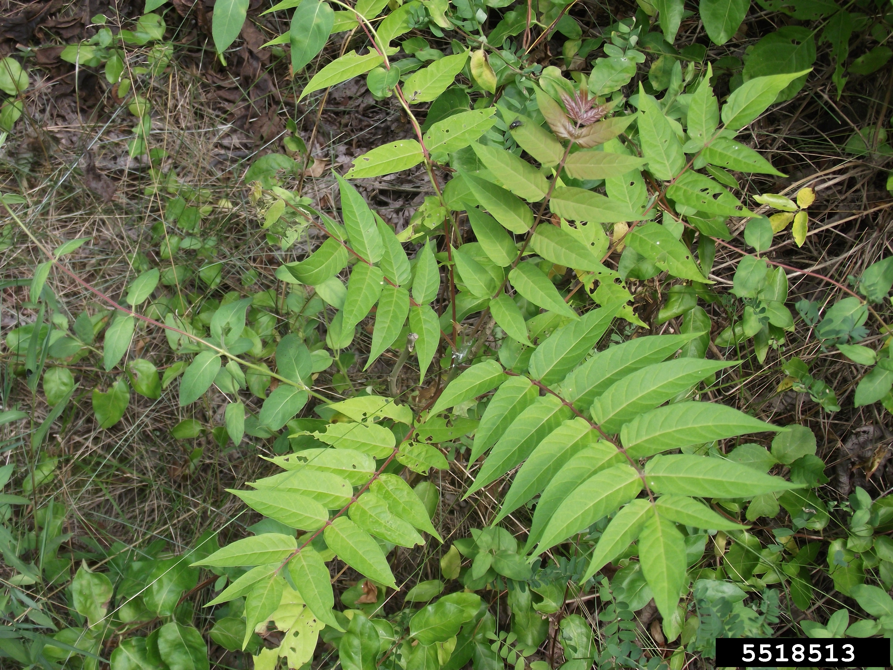 Tree-of-heaven is an invasive weedy tree. The leaves have a strong peanut butter smell when crushed. (Credit: Richard Gardner, Bugwood.org)