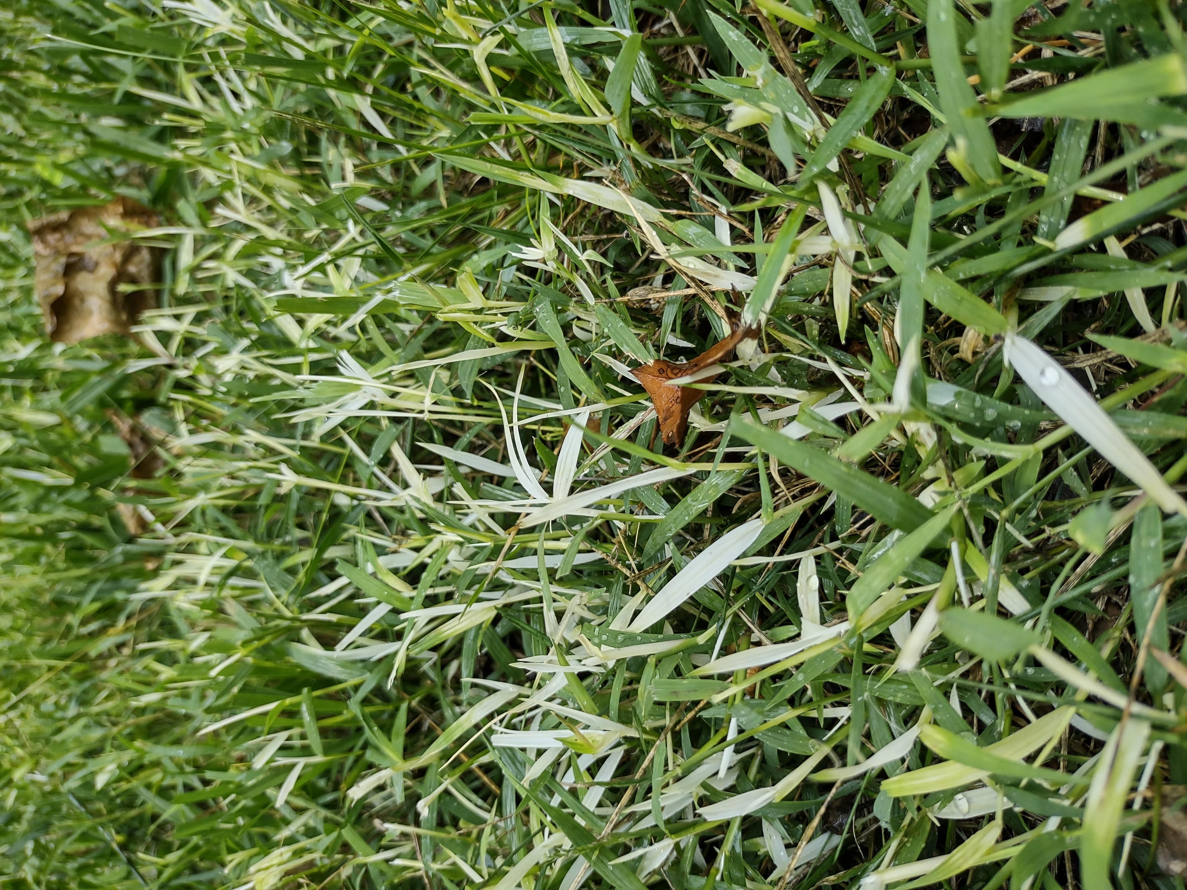 white leaf grass