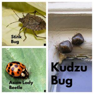 stink bug, kudzu bug, and asian beetle
